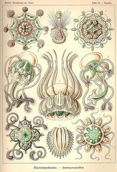 Haeckel_Kunstformen_062.jpg | by EricGjerde