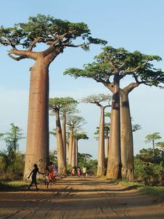 Baobab Alley, Madagascar. . . . They look like out of a Dr. Seuss book.