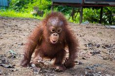 Cutest little Baby Orangutan.
