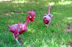 遺伝子組み換え 首に羽が生えていない鶏との品種改良の結果、生み出された鶏  鶏の成育に向かない熱い国での飼育と、加工の際に羽の除去にかかるコストを 予めカットするということにコンセプトとした結果 (2014/2/25 IN YOU)