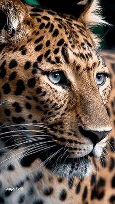 The face of a Leopard. Jungle Animals, Animals And Pets, Cute Animals, Wild Animals, Jaguar Tier, Big Cats, Cool Cats, Beautiful Cats, Animals Beautiful