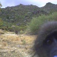 Baboon Photo bomb.