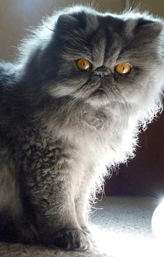 ◽️ Beautiful Blue Persian