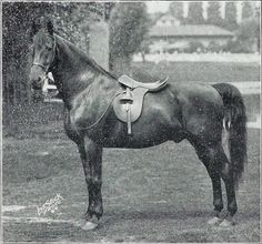 This shot is a bit grainy, but a gem nonetheless. It's Charming King, foaled in 1909, by Bourbon King and out of Charm who was by Red Cloud, a son of the Standardbred, Mambrino Patchen. If you love a substantial Saddlebred, he fits the bill to a T!! He sired, among others, Rainbow Rose who was reserve in Louisville's mare stake and third in the big championship in 1928.
