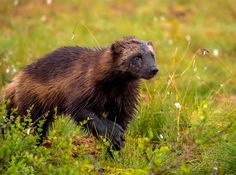 Wolverine on a morning forage