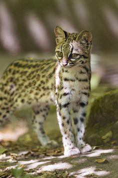 Attentive oncilla (by Tambako the Jaguar)
