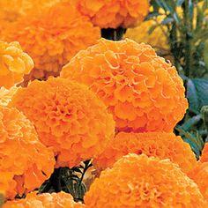 Park's Whopper Orange Marigold Seeds