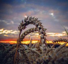 Wheat ears #wheat #ears #wheatears #sunset #skyporn #nature #trigo #espigas  #espigasdetrigo #atardecerveraniego #crepúsculo #dämmerung #weizen #natur #warmcolors #colorescalidos #kodakphoto #kodakpixpro #az362