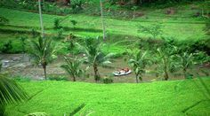Top Indonesia Sightseeing Attractions - Ubud Rice Field, is viewed as the social heart of Bali and one of the top vacation destinations in Indonesia.