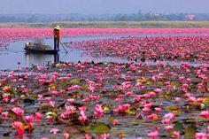 Un océan de #fleurs. Les #lotus sont symboles de pureté au #Vietnam.