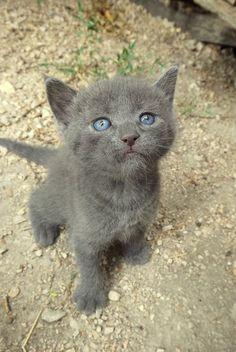 little grey kitten