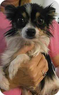 Chihuahua Mix Dog for adoption in Cheboygan, Michigan - Meeka