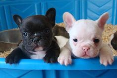 French Bulldog Pups!