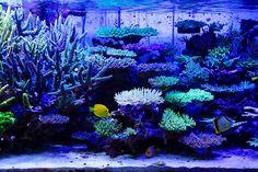 Image detail for -Japanese Reef Tank Saltwater Aquarium Fish, Saltwater Tank, Reef Aquarium, Glass Aquarium, Marine Fish Tanks, Marine Tank, Marine Aquarium, Underwater Creatures, Underwater Life