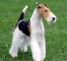 Wire-Haired Fox Terrier-   Meanest creature on the planet! Miss you, Sassy-dog Grimsley, our 'wild-haired terror'!
