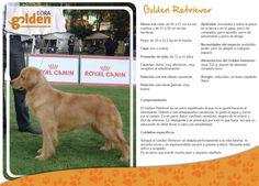 Y tu???  Ya conoces las caractristicas de los Golden Retiever??    Si quieres un cachorrito ponte en contacto con nosotros!!
