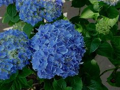 Hydrangea ~ Only the Blue will do!