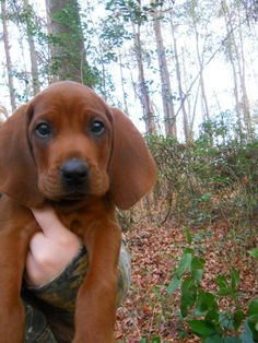 Red... The cutest Redbone Coonhound puppy around how could you not love this face ?! Ahh I can't wait to get one !