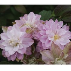 Unusual Clematis | ... Other Seeds & Plants Climbing Seeds & Plants Clematis 'Dancing Smile