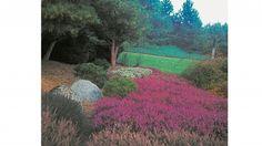 Vřesy bohatě kvetoucí počátkem podzimu.