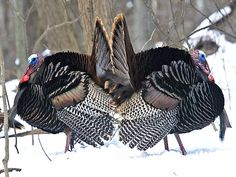 Wild Turkeys  by johndykstraphotography, via Flickr