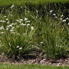 African iris - tall grassy plant that sprouts small flowers.