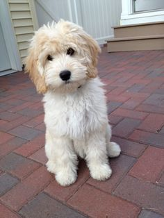 Golden Doodle Acres - lucy
