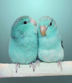 Parrotlet babies awwwww <3                                                                                                                                                      More