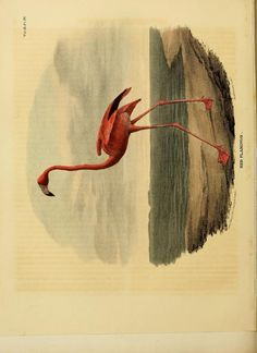 Flamingo, The Cabinet of Natural History and American Rural Sports, Vol. III, monthly journal published in Philadelphia: J. & t. Doughty, 1833.