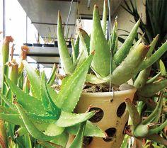 aloe v květníku Cactus Plants, Aloe Vera, Cacti, Cactus