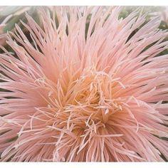 Callistephus chinensis 'Harz Peach', China Aster