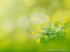 Yellow fig buttercup or lesser celandine or ficaria flowers on the spring blurred garden background