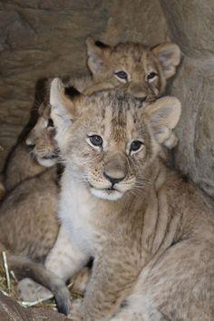 Ik wil een leeuwtje.