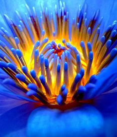 Gorgeous close-up from a blue and yellow flower