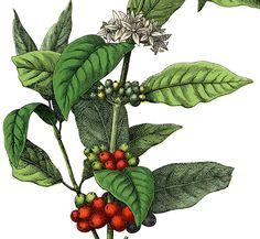 Free Stock Image Coffee Plant!