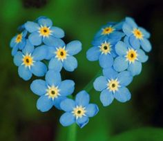 Forget Me Not flower essence enhances awareness of karmic connections in one's personal relationships and with those in the spiritual world.