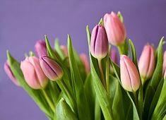 Tulipanes, Flores, Ramo Tulipán, Violeta