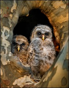 """ by Kevin Fleming Owl Babies, Baby Owls, Birds 2, Pet Birds, Nature Pictures, Animal Pictures, Barred Owl, Owl Eyes, Owl Bird"