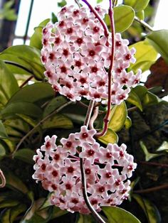 Hoya's are one of my favorite flowers and they smell wonderful.  My Mom had one and I didn't know that they flowered.  One day I saw a cluster of beautiful star shaped flowers but they looked fake.  I had asked my Dad if he had attached fake flowers to the plant:)