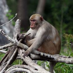 "Wait, There are Monkeys in Florida? ""Wild monkey on the Silver River. The alpha male."" Photo by anoldent"