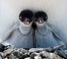 cute baby penguin 8 The Worlds Cutest Baby Penguins