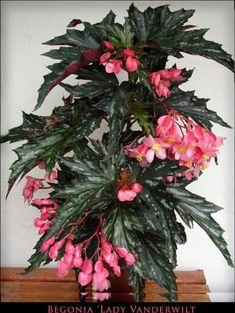 Begonia 'Lady Vanderwilt'