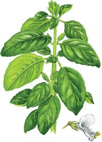 Know your Basil!