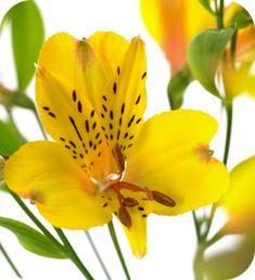 alstroemeria soorten snijbloemen lang bloeien bloemen gele pasen snijbloem verzorging