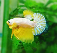 Knowing All Types Of Betta Fish - By Tail, Pattern And Color With Photo And Description - The betta fish is also called Siamese fighting fish is one of the popular fish are keeping by fish hobbies. Colorful Fish, Tropical Fish, Aquarium Fish Tank, Fish Tanks, Betta Fish Types, Beta Fish, Siamese Fighting Fish, Aquarium Design, African Cichlids