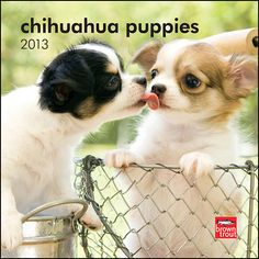 Chihuahua Puppies Mini Wall Calendar: Before adult Chihuahuas were their already diminutive selves, they were once even smaller Chihuahua puppies. As obvious as that seems, one can still wonder at the small, adorable puppies featured in this Chihuahua Puppies mini calendar.  http://www.calendars.com/Chihuahuas/Chihuahua-Puppies-2013-Mini-Wall-Calendar/prod201300004522/?categoryId=cat10126=cat10126