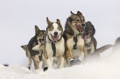 THE IDITAROD DOG RACE AND THE BIGGER CONVERSATION IT LEADS TO #ilovemydogs #dogtime #dogtimenews #dogs Time News, Dog Fighting, Picture Credit, Animals Of The World, Conversation, Husky, Best Friends, Sled Dogs, Funny Pictures