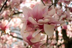 Japanese Magnolia (Magnolia liliiflora) in Decatur, Alabama: also called Mulan magnolia, Purple magnolia, Red magnolia, Lily magnolia, Tulip magnolia, Jane magnolia, Woody-orchid. #magnolia