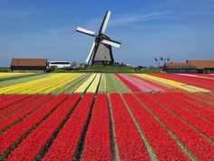 Rows of tulips bloom in the small Dutch village of Schermerhorn in North Holland.