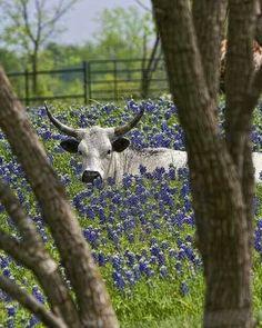 Cattle like having their spring pics taken in blue bonnets too!